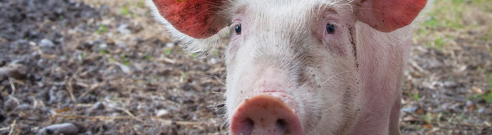 5 talking pigs that taught us valuable business lessons